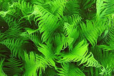Lady fern fronds (Athyrium filix femina) Wisconsin, USA, North America  -  Larry Michael/ npl
