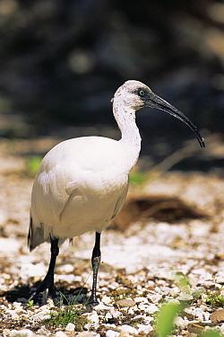 Aldabra sacred ibis (Threskiornis aethiopica abbotti) juvenile, Picard Island, Seychelles  -  Pete Oxford/ npl