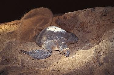 Green turtle digging nest in sand on beach (Chelonia mydas) Sulawesi, Indonesia  -  Jurgen Freund/ npl
