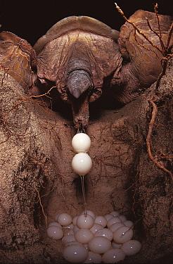 Green turtle laying eggs in nest on beach (Chelonia mydas) Sulawesi, Indonesia  -  Jurgen Freund/ npl
