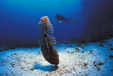 Sea pen (Pteroeides species) and diver, Sulu-sulawesi seas, Indo Pacific  -  Jurgen Freund/ npl