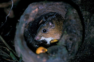 Spiny rat in hollow log den (Proechimys steerei) Amazonia, Brazil, South America returns to  -  Nick Gordon/ npl
