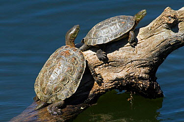 Spanish terrapins, Mediterranean pond turtles (Mauremys leprosa) basking in the sun on log in lake, Extremadura, Spain  -  Philippe Clement/ npl