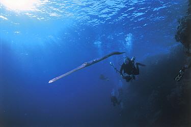 Cornetfish (Fistualaria commersonii) Red Sea  -  Michael Pitts/ npl
