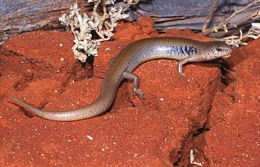 Male Saltbush, Samphire slender blue tongued skink (Cyclodomorphus venustus) northern form, Sturt NP, New South Wales, Australia  -  Robert Valentic/ npl