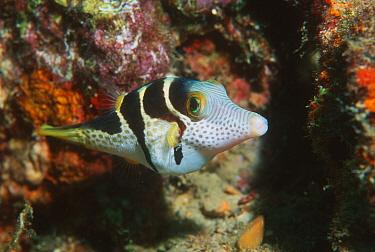 Valentine's sharpnose pufferfish (Canthigaster valentini) Tonga  -  Georgette Douwma/ npl