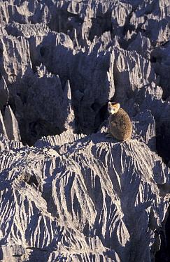 Crowned lemur (Eulemur coronatus) on limestone tsingy (uplifted coral reef) Ankarana  -  Dan Rees/ npl