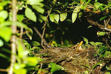 Female Blackbird sitting on nest (Turdus merula) Germany  -  Ingo Arndt/ npl