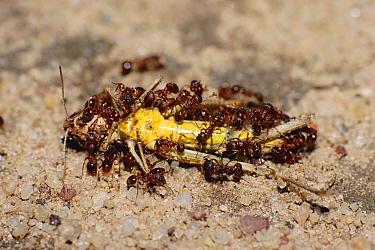 Black garden ants (Lasius niger) feeding on cricket Germany, Europe  -  Ingo Arndt/ npl