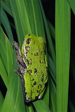 Barking treefrog (Hyla gratiosa) Florida, USA  -  Barry Mansell/ npl