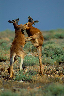 Male Red kangaroos fighting for dominance (Macropus rufus) Sturt NP, NSW Australia  -  Owen Newman/ npl