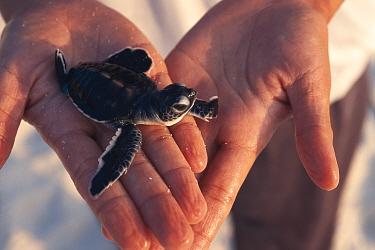 Green sea turtle baby held in hand (Chelonia mydas) Turtle Is, Philippines  -  Jurgen Freund/ npl