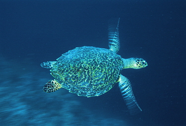 Hawksbill turtle (Eretochelys imbricata) swimming, Indo Pacific  -  Jurgen Freund/ npl