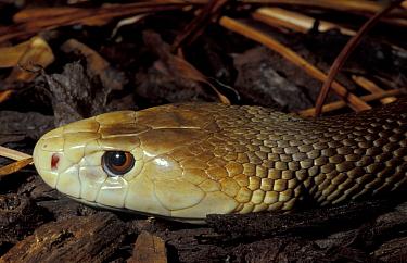 Taipan snake (Oxyuranus scutellatus) occurs Australia captive  -  Rod Williams/ npl