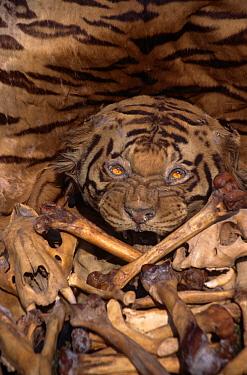 Tiger skin, skull and bones (Panthera tigris) illegal trade, India  -  Vivek Menon/ npl