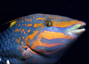 Checkerboard wrasse (Halichoeres hortulanus) Red Sea  -  Jeff Rotman/ npl