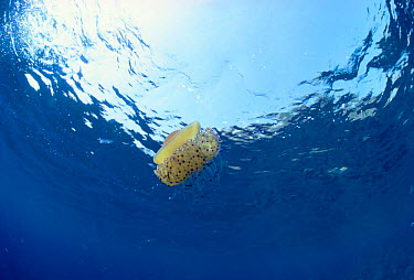 Fried egg jellyfish (Cotylorhiza tuberculata) in open ocean, Italy, Mediterranean  -  Jeff Rotman/ npl