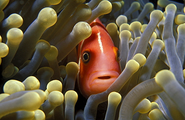 Pink anemonefish amongst anemone tentacles (Amphiprion perideraion) Yap, Micronesia  -  Michael Pitts/ npl
