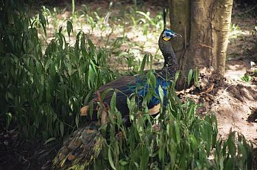 Green peafowl in vegetation (Pavo muticus) Phou Phanang Sanctuary Laos, Thailand  -  Vivek Menon/ npl