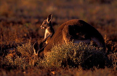 Female Red kangaroo with joey feeding (Macropus rufus) Sturt NP, New South Wales, Australia  -  Owen Newman/ npl