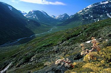 Northern livelong saxifrage (Saxifraga cotyledon) flowering in Visdalen valley, Jotunheimen NP, Norway  -  Asgeir Helgestad/ npl