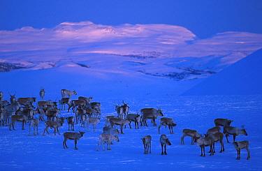 Reindeer herd in snow (Rangifer tarandus) Buskerud, Norway  -  Asgeir Helgestad/ npl