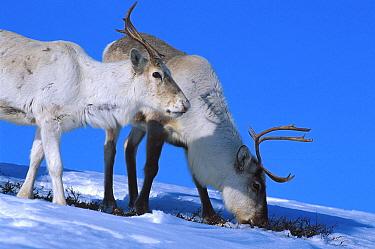 Reindeer feeding on lichen under snow (Rangifer tarandus) Buskerud, Norway  -  Asgeir Helgestad/ npl