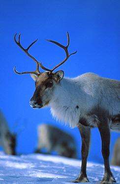 Reindeer in winte (Rangifer tarandus) Buskerud, Norway  -  Asgeir Helgestad/ npl