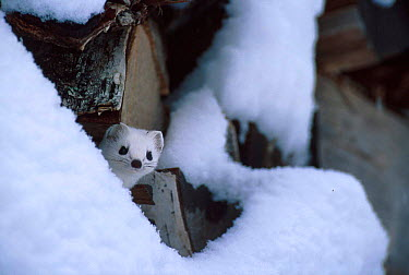 Stoat in white winter coat by log pile (Mustela erminea) Norway  -  Asgeir Helgestad/ npl