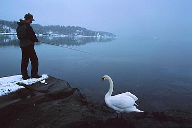 Man fishing with Mute swan beside him (Cygnus olor), Oslo-fjord, Norway  -  Asgeir Helgestad/ npl