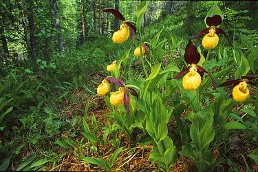 Yellow ladies slipper orchid flowering in woodland (Cypripedium calceolus) Norway  -  Asgeir Helgestad/ npl