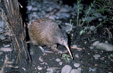 North island brown kiwi (Apteryx australis mantelli) Kapiti Is North Is New Zealand  -  Christophe Courteau/ npl