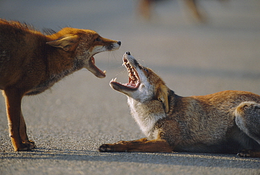 Two male urban Red foxes, mouths open,  one in submissive posture {Vulpes vulpes} London, UK  -  Laurent Geslin/ npl