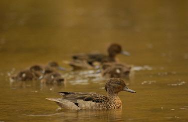 Andean teal duck with ducklings (Anas andium) Cajas NP, paramo, Andes, Ecuador  -  Pete Oxford/ npl