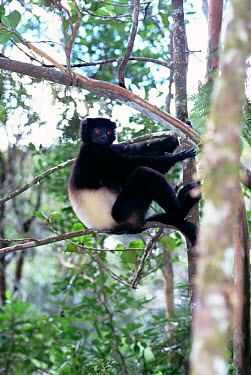 Milne-Edward's sifaka (Propithecus diadema edwardsi) Madagascar Ranomafana NP  -  Nick Garbutt/ npl