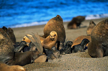 South American, Patagonian sealion male, females and pups (Otaria flavescens) colony on beach, Argentina, Valdez  -  Gabriel Rojo/ npl