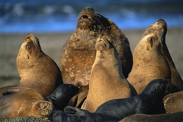 South American, Patagonian sealion male, females and pups (Otaria flavescens) colony on beach, Valdez, Argentina,  -  Gabriel Rojo/ npl