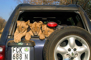 African lion cubs in vehicle at rehabilitation centre, South Africa  -  Philip Dalton/ npl