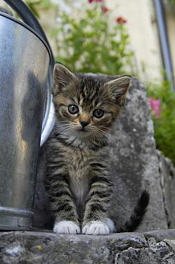 Domestic cat kitten by watering can (Felis catus) UK  -  Philip Dalton/ npl