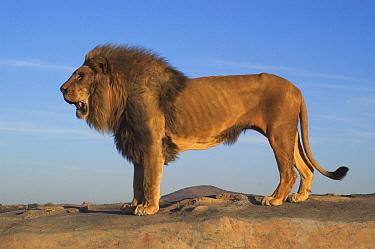 Male African lion profile portrait (Panthera leo) South Africa  -  Philip Dalton/ npl