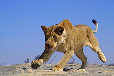 Female African lion stalking (Panthera leo) South Africa  -  Philip Dalton/ npl