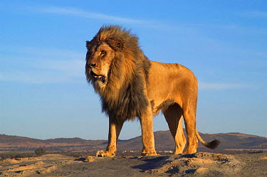 Male African lion standing (Panthera leo) South Africa  -  Philip Dalton/ npl