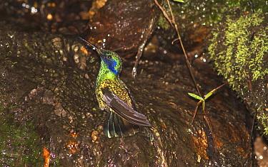 Green violetear bathing in mountain stream (Colibri thalassinus) Ecuador  -  Philip Dalton/ npl
