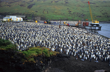 King penguin colony on the wharf of Possession Island, Crozet, Sub-antarctic (Aptenodytes patagoni)  -  Eric Baccega/ npl