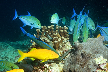 Yellow, Goldsaddle goatfish (Parupeneus cyclostomus) hunting together with Bluefin Jacks (Caranx melampygus) and Chinese sea kraits (Laticauda semifasciata) over coral reef, Gunung Api, Banda sea, Ind...  -  Peter Scoones/ npl