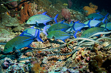 Bluefin Trevallies, jacks (Caranx melampygus) and Chinese sea kraits (Laticauda semifasciata) hunting together over coral reef, Indonesia photographed during making of BBC Planet Earth series 2005  -  Peter Scoones/ npl