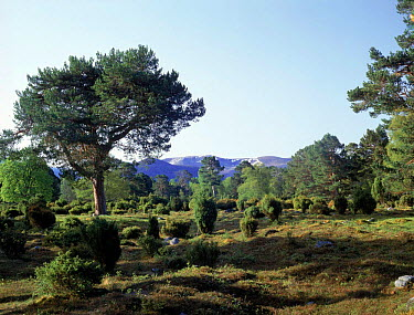 Ancient pine forest Rothimercus Forest, Scotland  -  Jim Hallett/ npl