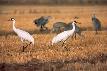 Foster Whooping cranes {Grus americanus} with Sandhill cranes {Grus canadensis} Texas, USA  -  Shattil & Rozinski/ npl