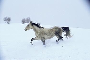 Wild horse / Mustang {Equus caballus} in snow, Colorado, USA  -  Shattil & Rozinski/ npl