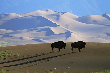 Bison {Bison bison} on sand dunes, Medano Zapata Ranch, San Luis Valley, Colorado, USA  -  Shattil & Rozinski/ npl